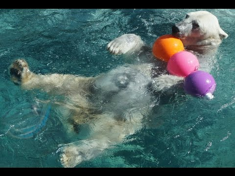 Patches the polar bear plays with a toy!