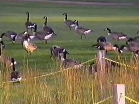 Repel Canadian Geese With GooseBuster
