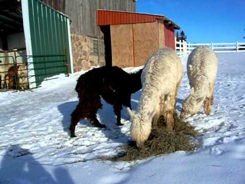 Alpacas in Wisconsin