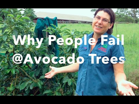 Why People Fail at Avocado Trees