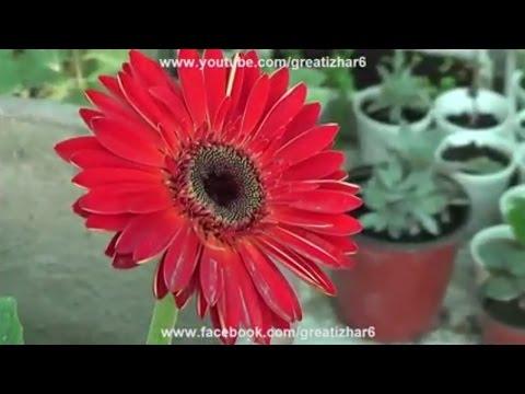 Gerbera Plant Care | Perennial Gerbera Daisy | Gerbera Flower | Flowering Plants (Urdu/hindi)