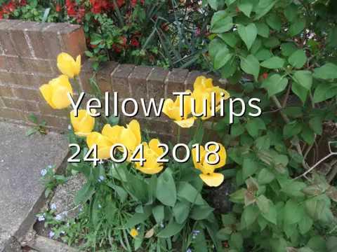 Yellow Tulips 24 04 2018