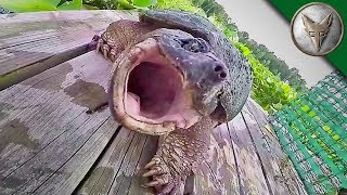 Download REALLY BAD Snapping Turtle Bite Video