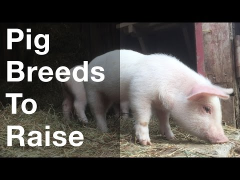 What Pig Breeds To Raise