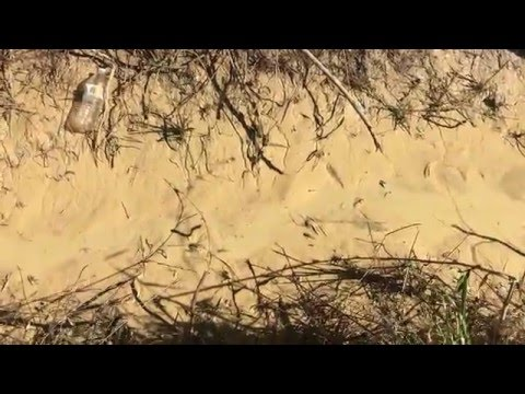 Crawfish Migration in Drain Ditch