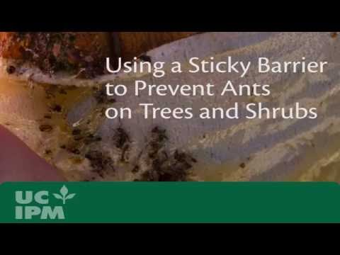 Using a Sticky Barrier to Prevent Ants on Trees and Shrubs