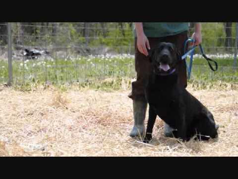 Meet Chance a Retriever, Labrador currently available for adoption at Petango.com! 4/15/2011 7:58:33