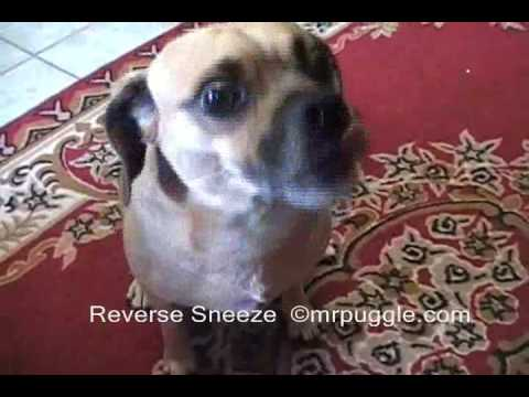 Mr. Puggle's Reverse Sneeze & How to Stop it.