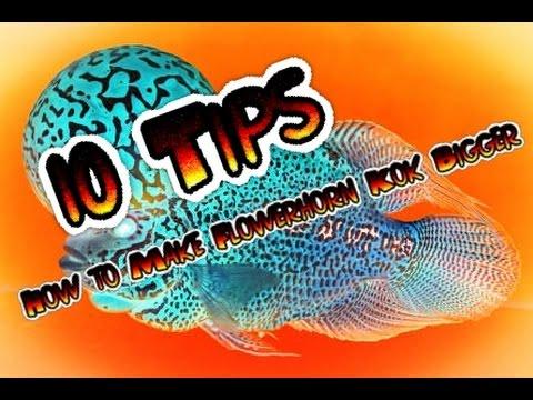 10 Tips How to Make Flowerhorn Kok Bigger