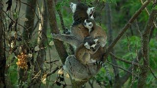 Cute Baby Twin Ring Tailed Lemurs - Madagascar w/ David Attenborough - BBC