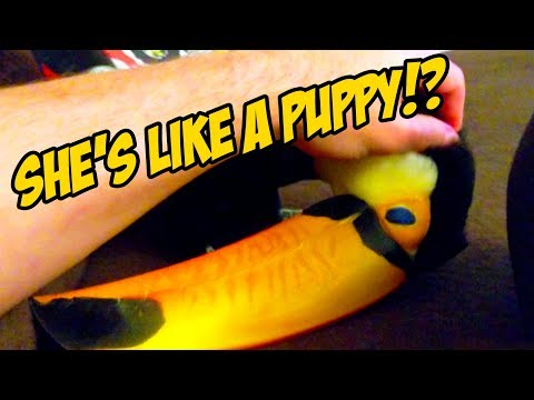 How to Tell When a Toucan Wants To Be Pet! (LIKE A PUPPY?!)