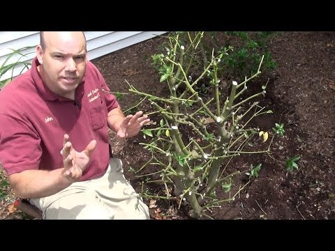 Renewal Prune Blue Holly (Ilex x meserveae)