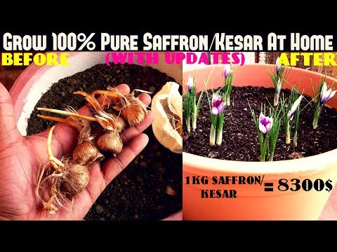 Grow 100% Pure Saffron/Kesar At Home- Easiest Way (With Updates)