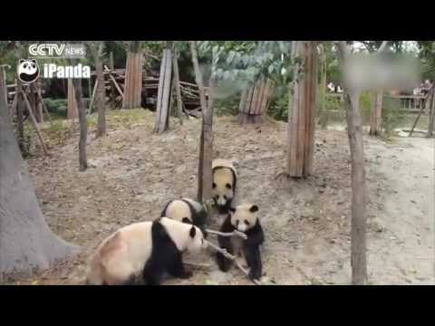 A dramatic life  Panda falls from tree unhurt, robbed by other pandas afterwards