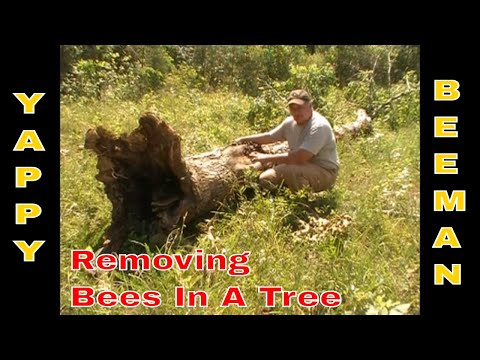 Honey Bee Removal From Inside A Bee Tree