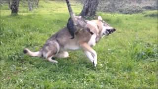Gatto Edgar che attacca Aki, cane lupo cecoslovacco