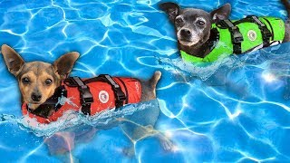 Giving our Dogs Swimming Lessons for the First Time!   Pawzam Dogs