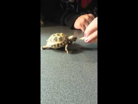 Baby Tortoise eating a bean sprout!
