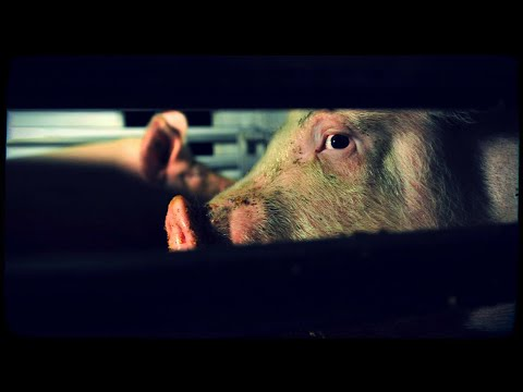 The Importance of Bearing Witness   Toronto Pig Save Interview [NOT Graphic]