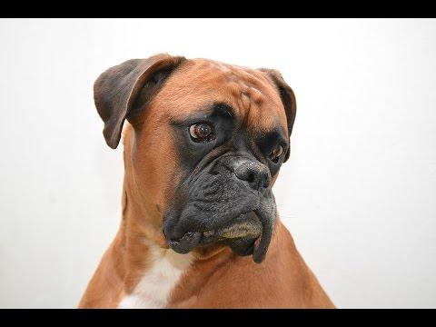 Boxer / Dog Breed