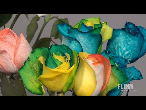 How to Make Rainbow Roses