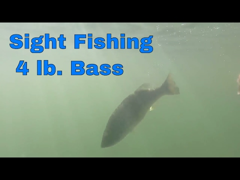 Sight Fishing 4 lb Bass With Floating Trick Worm