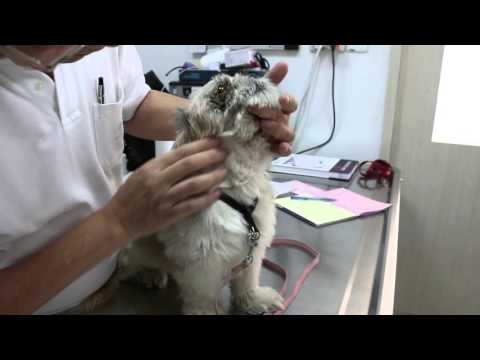 A Shih Tzu had right eye corneal ulceration Pt 1