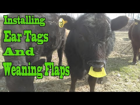 No More Milk For The Baby / Weaning Flaps / Ear Tagging