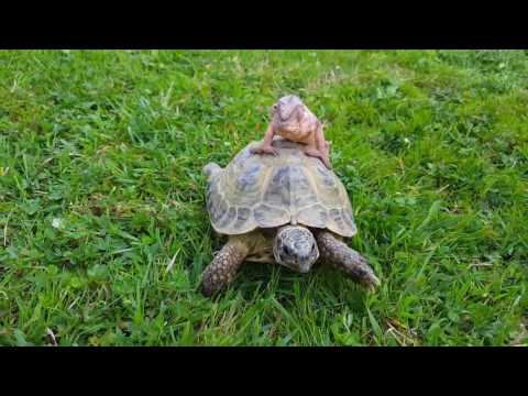 Just a Chameleon riding a Tortoise!