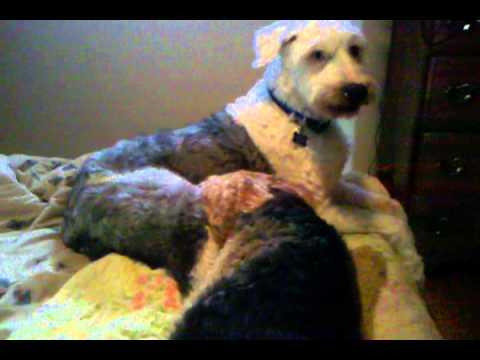 Brick & Zeke; bitey face; 11-21-2013