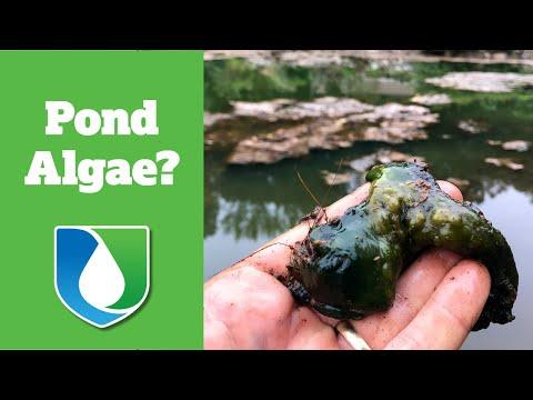 Algae Bloom in Pond and Pond Treatment | Charlotte NC | 704-816-0526