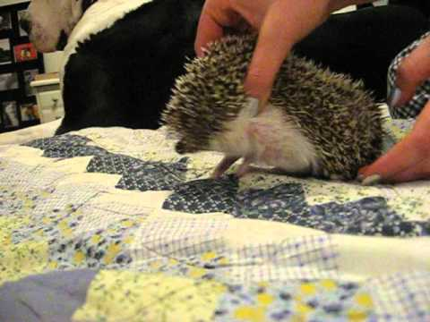 How to trim an aggressive hedgehog's nails