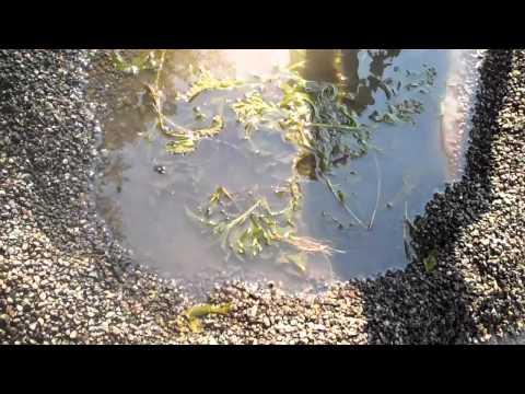 Crawfish catching at Pine Lake Redmond WA