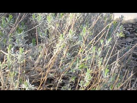 How to Prune Lavender in Spring