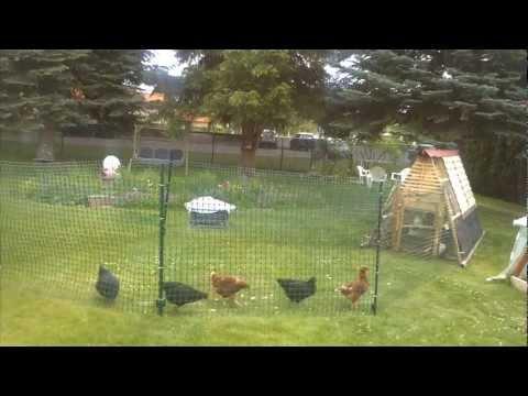 Chicken fence/run