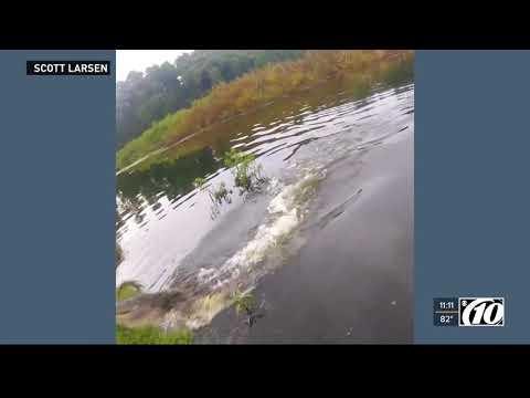 CRAZY! Florida alligator steals a fish