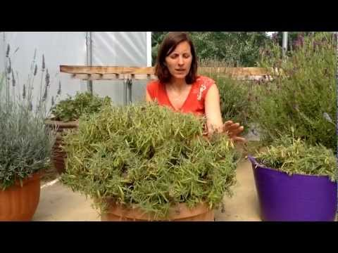 How to cut back French Lavender