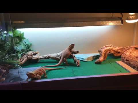 How I clean my bearded dragon's enclosure!