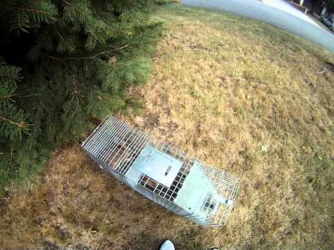 Rabbit Trapping in yard