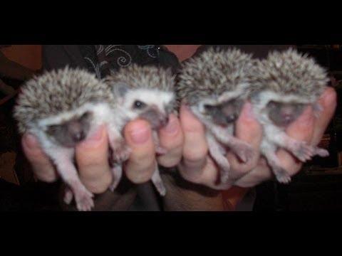 Hedgehog Care Information