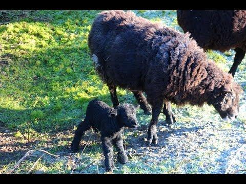 Angry Ram has a new born lamb