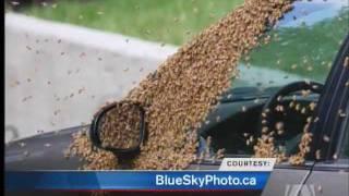 Download 20,000 Bees Swarm Saanich Street Video