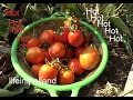 Growing tomatoes in hot climates, It can be done.