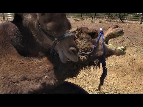 Xxx Mp4 Camel Vs Camel Animal Attack Unedited VLOG 3gp Sex