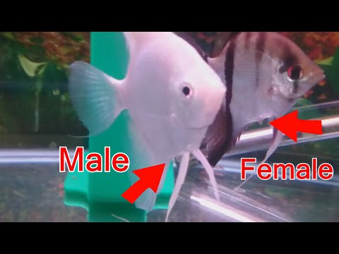 How to tell the difference between male and female angelfish.