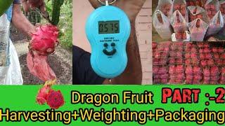 Dragon fruit harvesting Part-2  Dragon fruit farming Dragon fruit size  Kisan Mitra