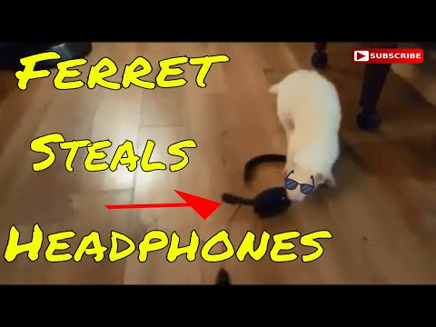 Ferret obsessed with Headphones!