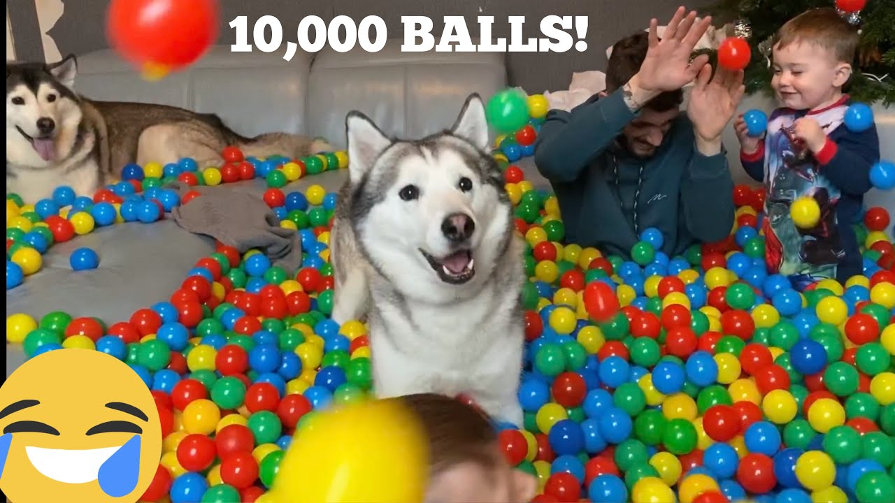 10,000 BALL SURPRISE FOR MY HUSKIES & BABIES BIRTHDAY! [CUTEST VIDEO EVER!!!!!!!]