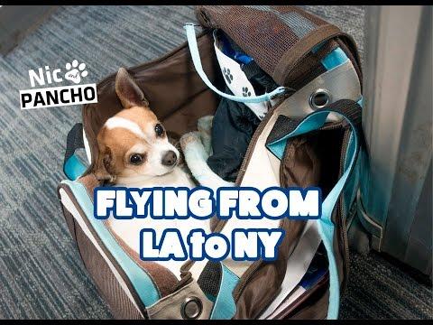 Chihuahua on airplane