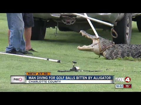 Gator bites diver while diving for golf balls